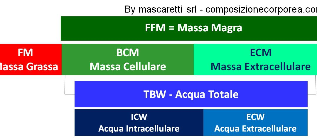 Massa extracellulare ECM: ruolo e modificazioni